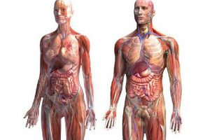 Теплопроводность человека, теплофизические свойства биотканей